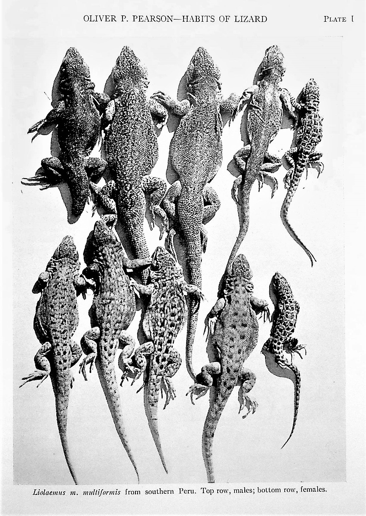 Image for Collection of 36 offprints by legendary ecologist and Director of the Museum of Vertebrate Zoology, UC Berkeley