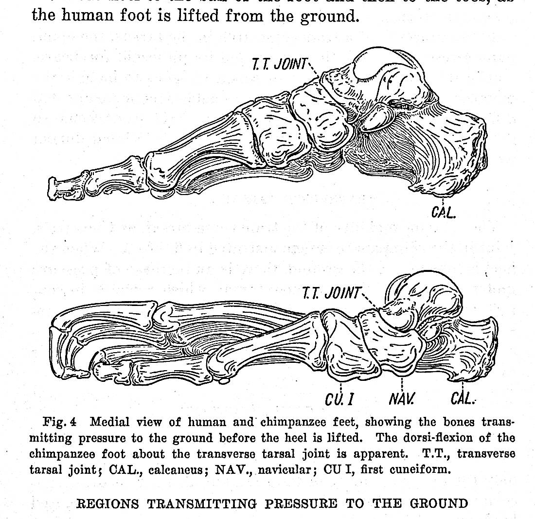 Image for A cinematic study of the distribution of pressure in the human foot TOGETHER WITH 6 other offprints