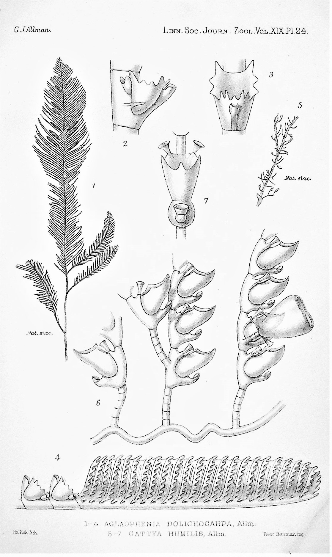 Image for Description of Australian, Cape, and other hydroids, mostly new, from the collection of Miss H. Gatty