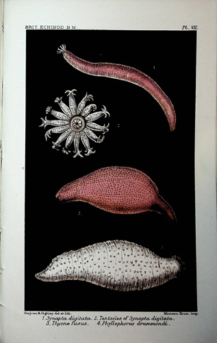 Image for Catalogue of the British Echinoderms in the British Museum (Natural History)