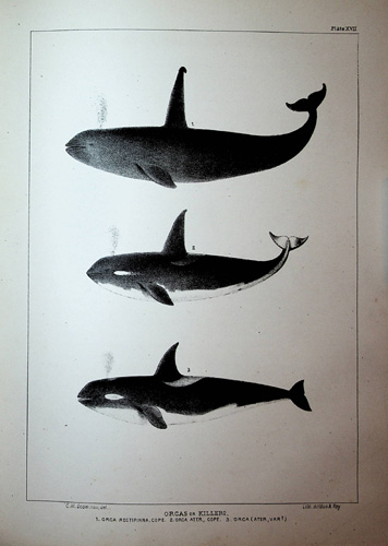Image for The Marine Mammals of the North-Western Coast of North America, described and illustrated: together with an account of the American Whale-Fishery
