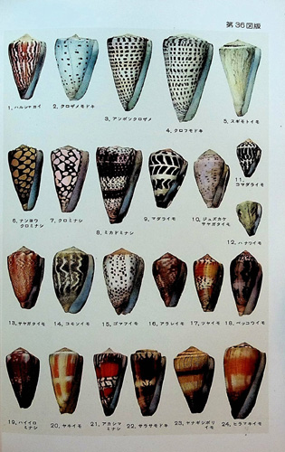 Image for Coloured Illustrations of the Shells of Japan
