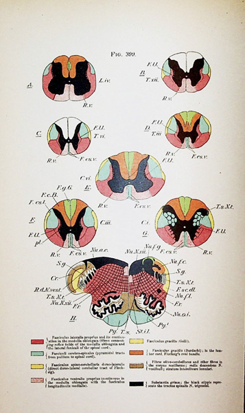 Image for The Nervous System and Its Constituent Neurones. Designed for the Use of Practitioners of Medicine and of Students of Medicine and Psychology. With two folding colored plates and six hundred and seventy-six illustrations in the text.